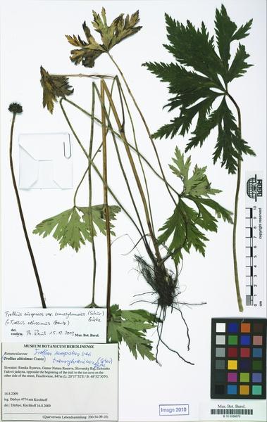 Trollius europaeus L. subsp. transsilvanicus (Schur) Domin & Podp.