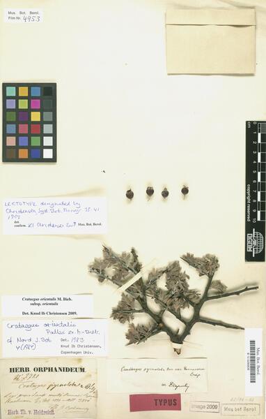Crataegus orientalis M.Bieb. subsp. orientalis