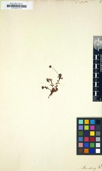 Saxifraga aphylla Sternb.