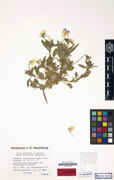 Viola arvensis Murray subsp. megalantha Nauenb.