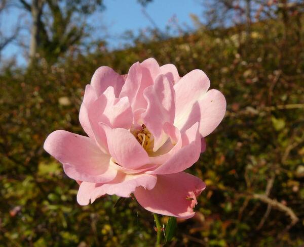 Rosa 'Pink Bassino ®'