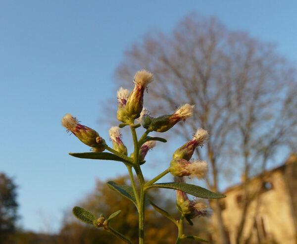 Baccharis halimifolia L.