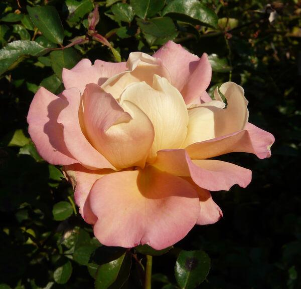 Rosa 'Cubana'
