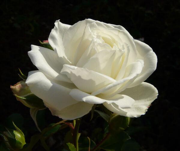 Rosa 'White Meidiland ™'