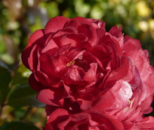 Rosa 'Toscana ®'