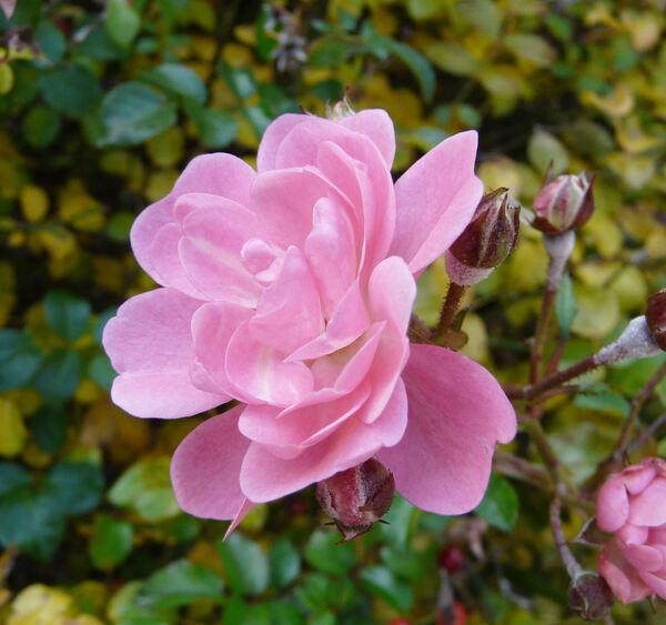 Rosa 'Satina'