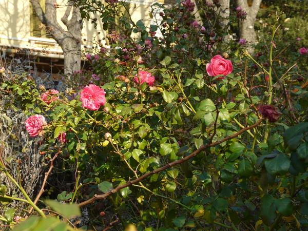Rosa 'Petal Pushers ™'