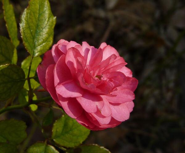 Rosa 'Sublime ®'