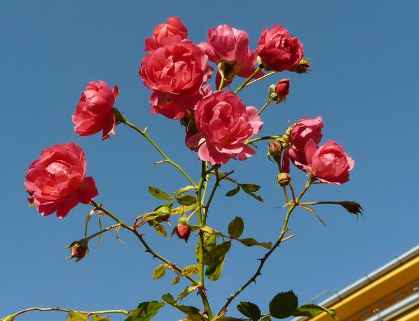 Rosa 'Rody ®'