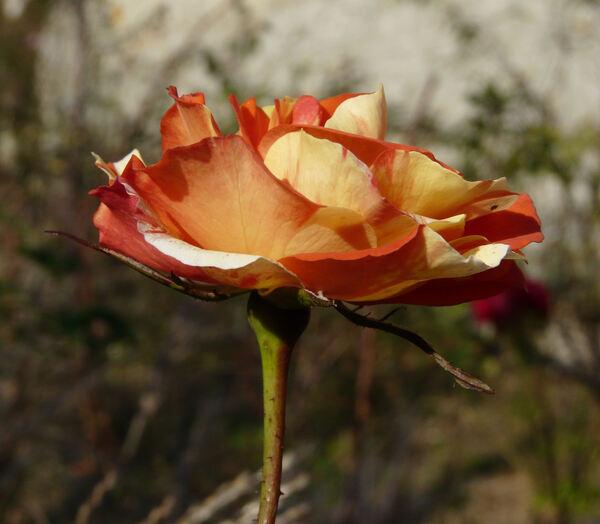 Rosa 'Oranges 'n' Lemons'