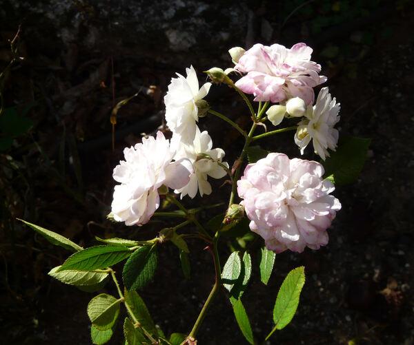 Rosa 'Rose Cascade'
