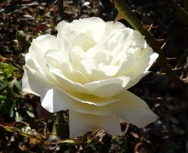 Rosa 'La Paloma'