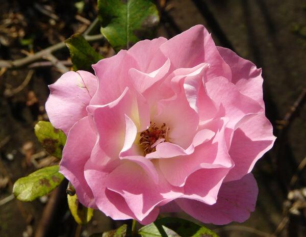 Rosa 'Gala Charles Aznavour'