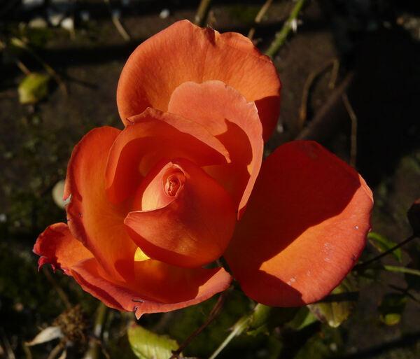 Rosa 'Victorian Spice'