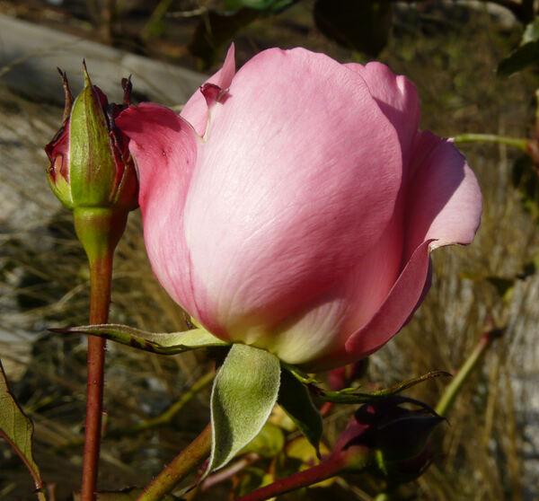 Rosa 'Gisella ®'