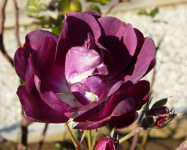 Rosa 'Royal Celebration'