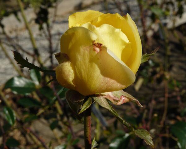 Rosa 'Oldtimer'