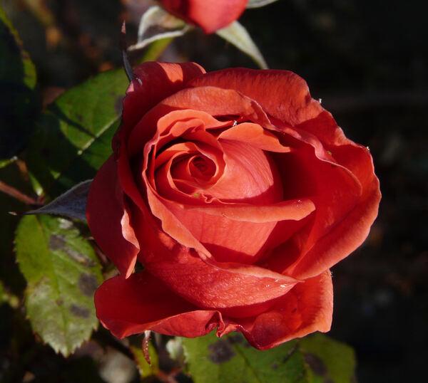 Rosa 'Merveille de Gien'