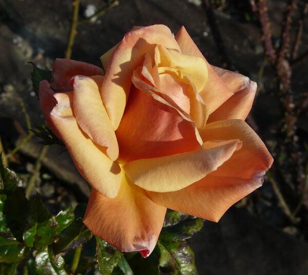 Rosa 'Remember Me ®'