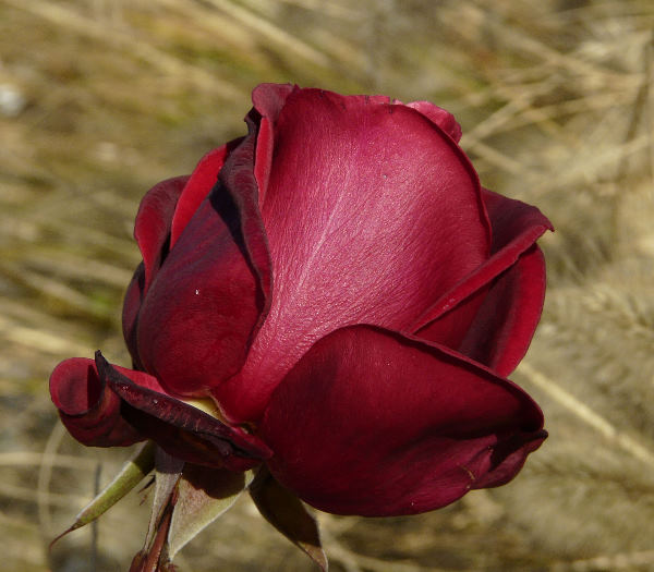 Rosa 'Mildred Scheel ®'