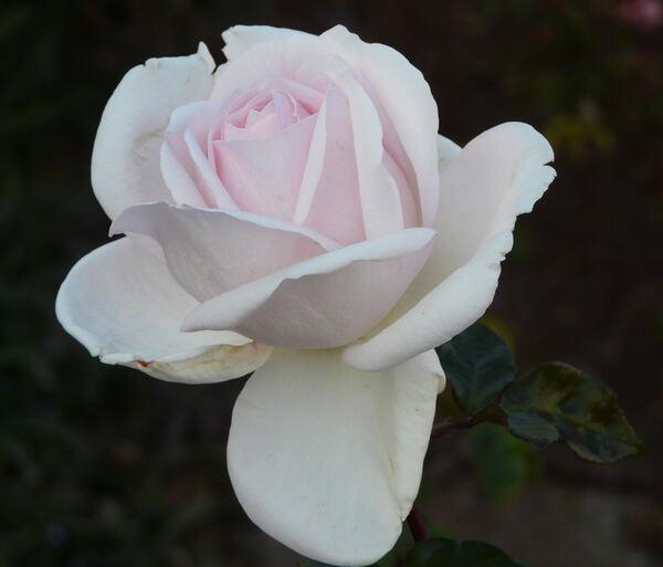 Rosa 'Pretty Woman'