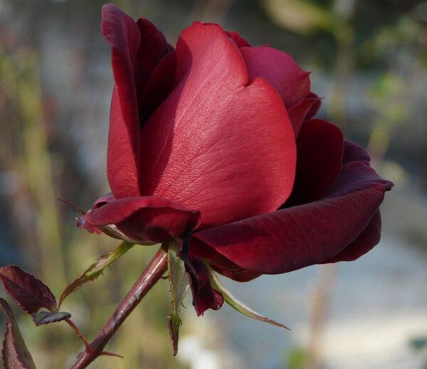 Rosa 'Marina Marini ®'