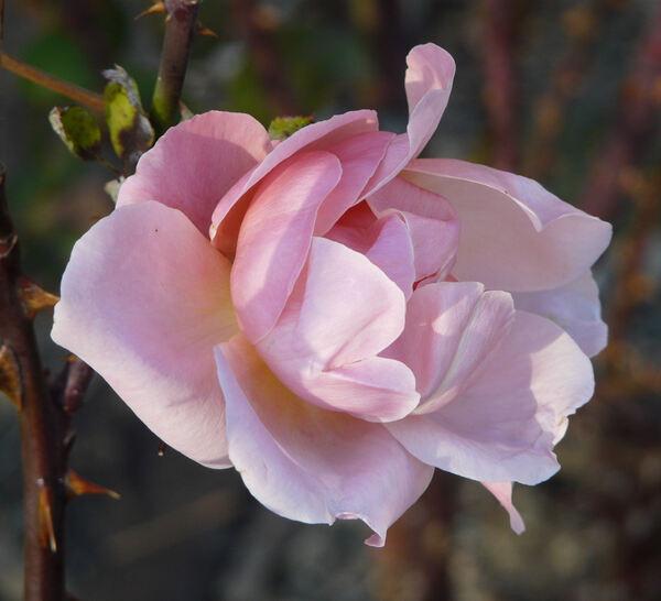 Rosa 'Fragrant Hour'