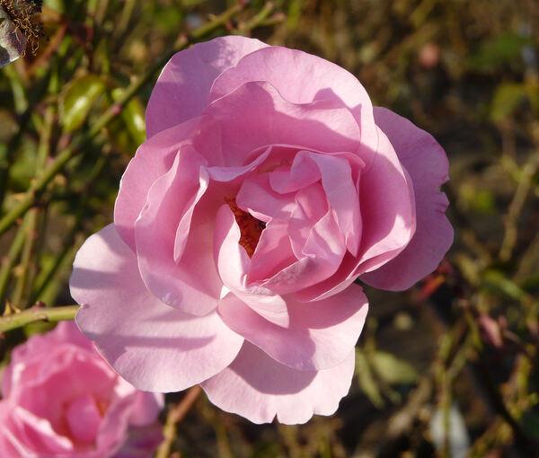 Rosa 'Rose de Rennes'