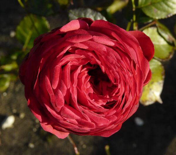 Rosa 'Piano ®'