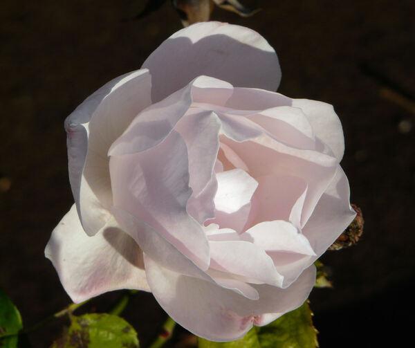 Rosa 'Benelux Star'