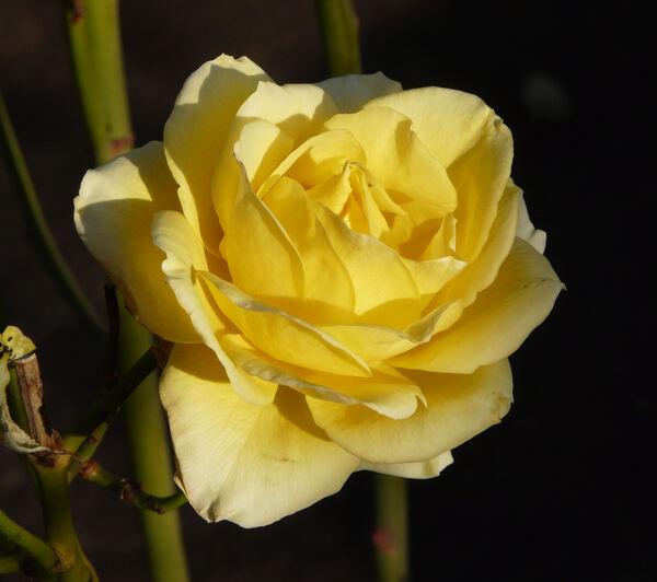 Rosa 'Golden Starlite'