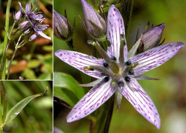 Swertia perennis L.
