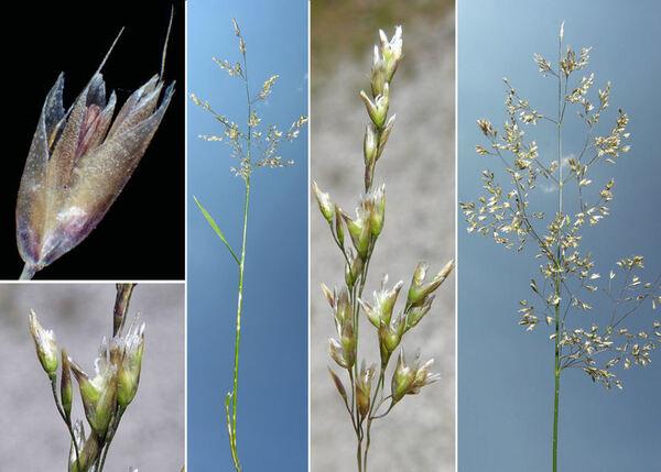 Deschampsia cespitosa (L.) P.Beauv. subsp. cespitosa