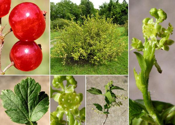 Ribes alpinum L.