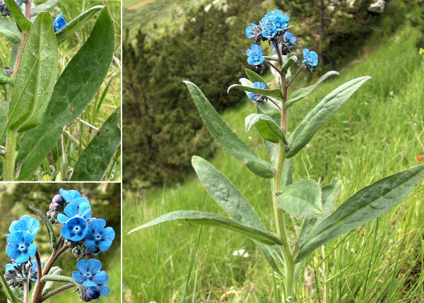 Cynoglottis barrelieri (All.) Vural & Kit Tan subsp. barrelieri