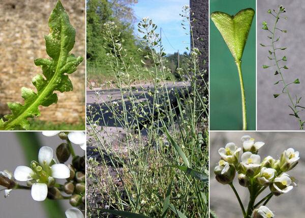 Capsella bursa-pastoris (L.) Medik. subsp. bursa-pastoris