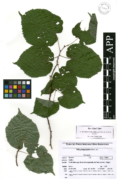 Tilia platyphyllos Scop. subsp. cordifolia (Besser) C.K.Schneid.