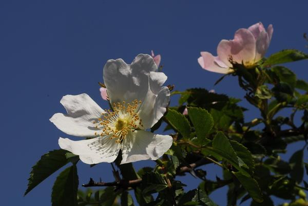 Rosa subcanina (Christ) Vuk.