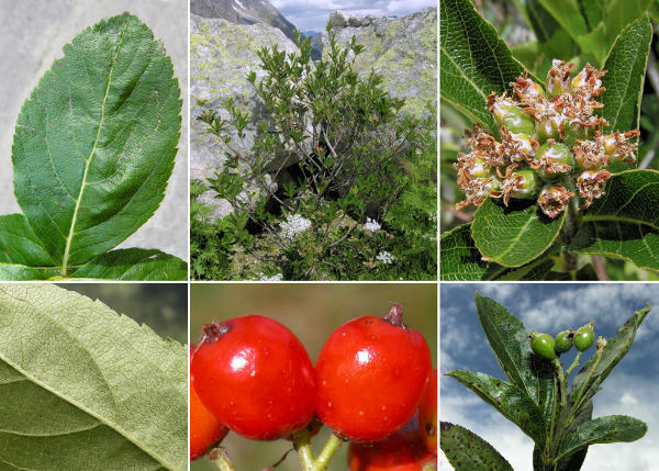 Sorbus chamaemespilus (L.) Crantz