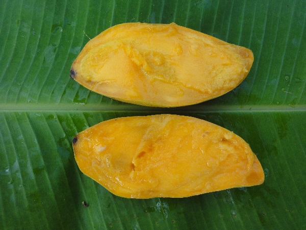 Mangifera indica L.