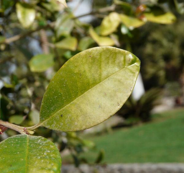 Eugenia uniflora L.