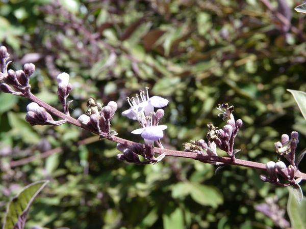 Vitex trifolia L. 'Purpurea'
