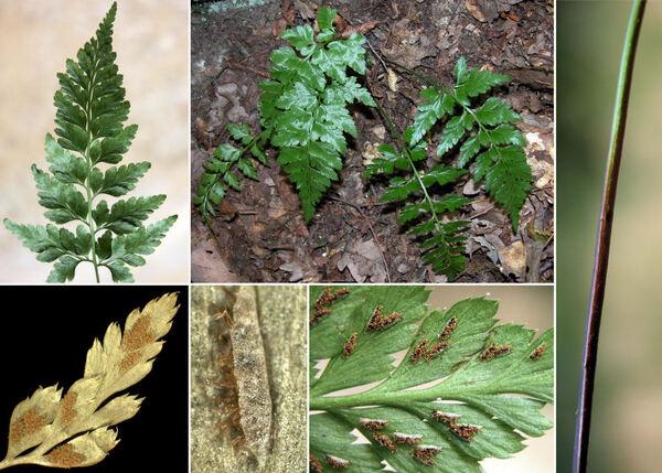 Asplenium adiantum-nigrum L. subsp. adiantum-nigrum
