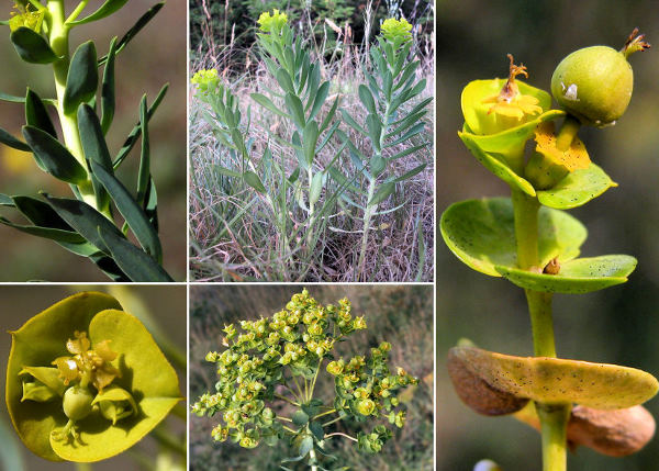 Euphorbia nicaeensis All. subsp. nicaeensis