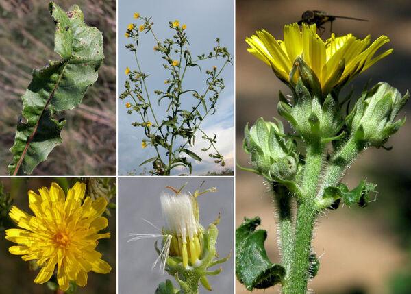 Picris hieracioides L. subsp. hieracioides