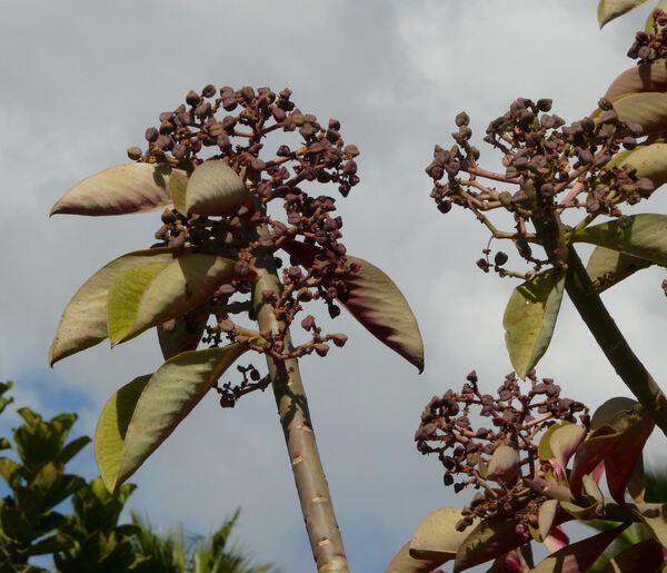 Euphorbia grantii Oliv.