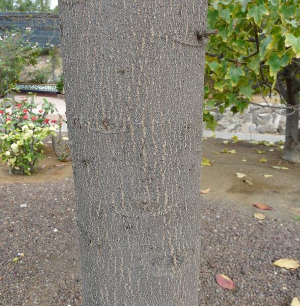 Terminalia catappa L.