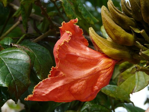 Spathodea campanulata P.Beauv.