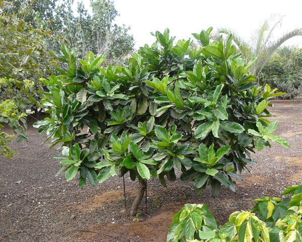 Ficus wildemaniana Warb. ex De Wild. & T. Durand