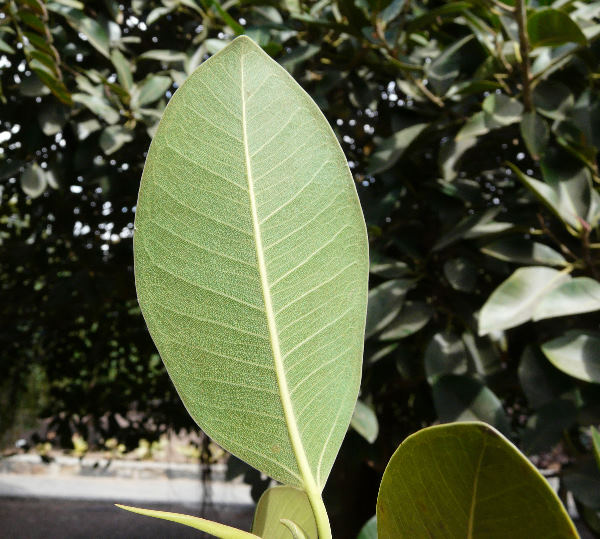 Ficus rubiginosa Desf. ex Vent.